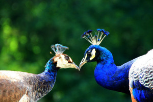 image of peacock's kissing